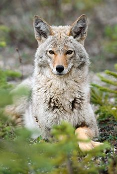 Coyote Laying On Ground By Evergreen Trees by Kitchin & Hurst