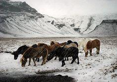 Horses in a snow storm by davidarnar, via Flickr