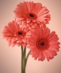 Beautiful Flowers Gerbera Daisies Pink Daisies Flowers