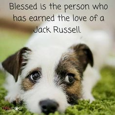 Blessed is the person who has earned the love of a Jack Russell