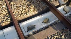 Japanese rail workers build special tunnels to save turtles from being struck by trains.