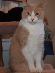 Peaches is an adoptable Domestic Short Hair-Orange Cat in Ocean City, NJ. Meet Peaches! This independent gal would do well as an only pet as she will want ALL of your attention! Drop by to meet her so...