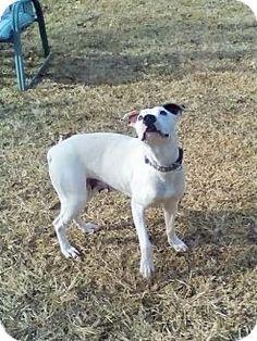 Hagerstown, MD - Dalmatian/Labrador Retriever Mix. Meet Angel Girl, a dog for adoption. http://www.adoptapet.com/pet/17419902-hagerstown-maryland-dalmatian-mix