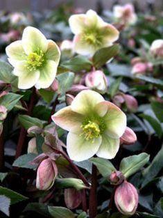 Helleborus – Autumn / Winter Planter Source by myloche Bulb Flowers, Green Flowers, White Flowers, Flower Pots, Beautiful Flowers, Shade Garden, Garden Plants, Balcony Garden, Garden Bulbs