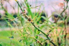 Ruže nám počas sezóny napadli húsenice. Čo to je a ako proti nim bojovať? - Záhrada.sk Karate, Plants, Plant, Planting, Planets