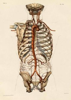 """brains-and-bodies: """" From The Irregular Anatomist """"The aorta and its branches by Nicolas Henri Jacob from 'Traité complet de l'anatomie de l'homme' by Marc Jean Bourgery, 1831."""" """""""