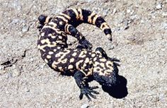 Gila Monster | Arizona Poison and Drug Information Center