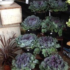 PerennialStyle.com — Love the colors of fall kale and cabbage at... Brimfield Antique Show, Outdoor Plants, Backyard Landscaping, Kale, Perennials, Garden Ideas, Cabbage, Gardening, Decorating