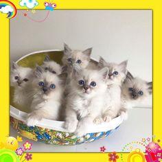 We wish you a Happy Easter . Photo cred to @suzannes who managed to get all seven kittens to sit in the Easter egg.  #birmans #birman #sacredbirman #heligbirma #birmania #birmanie #pyhäbirma #instabirmans #birmansofinstagram #blueeyes #whitecats #fluffycats #instacats #catsofinstagram #cats #kittens #instakittens #kittensofinstagram #lovecats #birmavanner #tabbycats #toocute #beautifulcats #excellentcats #tortiecats #cutepetclub #bluetabby #blåtabby