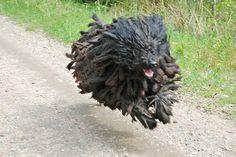 Puli (A Hungarian sheep dog breed) Pumi Dog, Hungarian Puli, Doggies, Dogs And Puppies, Mop Dog, Komondor, Herding Dogs, Amazing Dogs, Dog Show