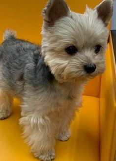 Yorkies, Pekingese Puppies, Yorkie Puppy, Teacup Yorkie, Cute Baby Dogs, I Love Dogs, Cute Puppies, Dogs And Puppies, Yorky Terrier