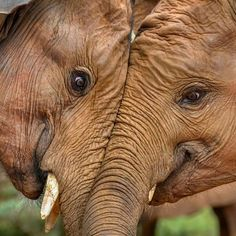 """Sometimes, a picture really does speak a thousand words! Regram from @natgeowild.hd: """"Elephant love. 'An animal's eyes have the power to speak a great language' - (Martin Buber) Shot at the #DSWT Elephant Orphanage, Nairobi"""""""