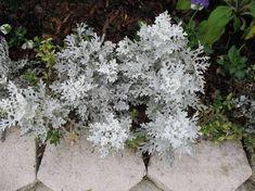 Silberblatt - kompakter, buschiger Zwergstrauch mit silbrigen, behaarten, gefliederten Blättern