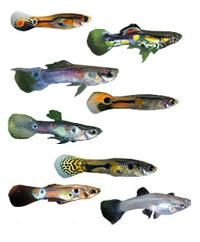 Guppies. They are very hardy and are also fun and easy to breed.