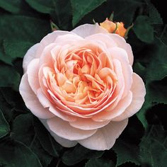 SWEET JULIET English Rose - bred by David Austin Shrub Rose Neatly formed rosettes with a strong, fresh tea rose scent Glowing apricot, neatly formed rosettes. Fresh and strong tea rose fragrance. Reliable and disease resistant.