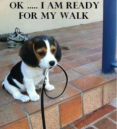beagles love to go on walks!