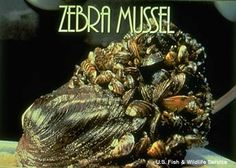 Zebra mussels, Dreissena polymorpha, are tiny, ranging from approximately 1/64th of an inch (0.5 mm) to 2 inches (50.80 mm), bivalve mollusks that inhabit fresh to brackish or estuarine waters.They are native to Eastern Europe, arrived in cargo-ship ballast water to the Great Lakes in the mid-to-late 1980's where they have become an invincible problem to industry and the native species. There are few ways to control them or prevent them from traveling into the interior of the United States.