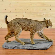 Bobcat Taxidermy Mount SW4363 North american animals