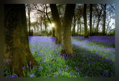 Bluebells #Bluebells #Flowers #Nature #Spring #EarthDay #Springtime #Easter #England #Countryside #Forest #Trees http://www.Zazzle.com/LongNeckGoosie*