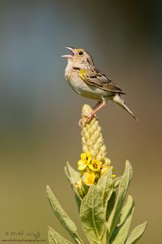 Grasshopper sparrow sings on Common Mullein             by Mike  Lentz, via 500px