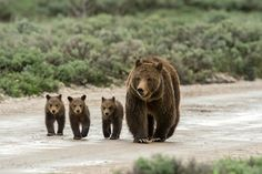 """Teton Rush Hour featured on the cover of """"Grizzlies of Pilgrim Creek"""""""