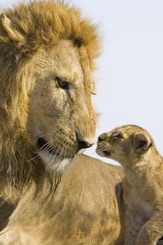 ~~Papa lion meets cub for the first time   Lions may be one of the world's deadliest predators - but this male quickly assumed the role of caring father when meeting his cubs for the first time   Daily Mail~~