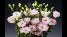 Las Flores más Lindas y Raras del mundo   Productora kikito