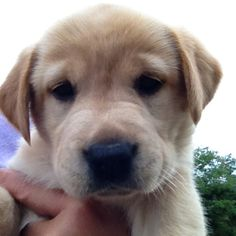 Lily, yellow lab puppy :-)