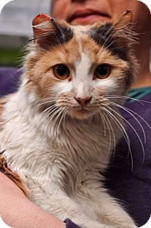 Media, PA - Domestic Longhair. Meet Ashley a Cat for Adoption.