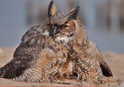 """""""I said, 'That's an owl,'"""" Spitzer recalled. """"The falcons were dive-bombing it still."""""""