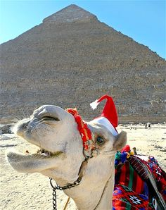 A camel with a Santa hat sits in front of a pyramid at Giza, near Cairo.