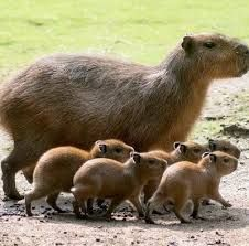 #wildlife  #capybara  #family ... lots of little ones to keep safe & learn life lessons ...
