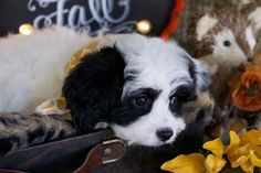 New Litter Posted! Prepare to fall in PUPPY LUV!!! Cavachon Puppies, Cavapoo, Cute Pictures, Fall, Dogs, Animals, Autumn, Animales, Animaux