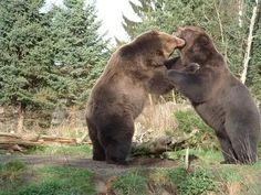 I want to see a bear hug in Montana http://img.ehowcdn.com/article-new/ehow/images/a06/s9/1q/requirements-montana-game-warden-1.1-800x800.jpg
