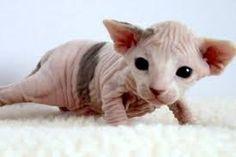 Kuvahaun tulos haulle sfinx kissa
