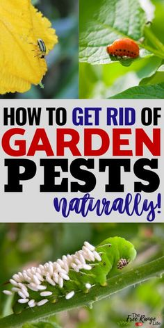Is your organic garden being overrun with pests? Here's how to get rid of bugs on plants in your garden- including the top 8 common garden pests! You don't have to use chemical to get rid of pests in your vegetable garden- here are natural ways to get rid Planting Vegetables, Organic Vegetables, Growing Vegetables, How To Plant Vegetables, Garden Bugs, Garden Pests, Plant Pests, Garden Insects, Pot Jardin