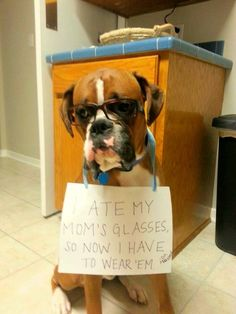 """""""I ate my Mom's glasses and now I have to wear them! ~ Dog Shaming shame - Boxer - Ultimate dog shaming!"""