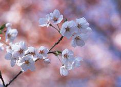 Ramitas de flor de cerezo rosas.