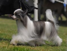 chinese crested dog puff
