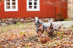Grow these 12 perennials asedible landscaping that will create free chicken food, shade, and shelter from overhead predators for your flock.