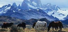 Caballos salvajes en la pampa argentina