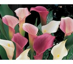 Zantedeschia Callafornia Calla® Pastel Mix - White Flower Farm  It's hard to argue with the notion that pastel shades complement each other, especially as illustrated by our photo of white, soft pink, and lavender Callas. They make each other more beautiful, whether they're combined in a pot or lined out in the cutting garden.