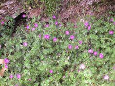 Raccontare un paese: camminando in Versilia: fiori spontanei (10 foto
