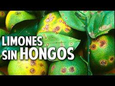 10 consejos TOP para acabar con los hongos del limonero