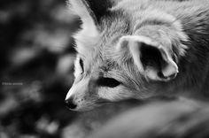 fennec fox by Linda Ansone on 500px