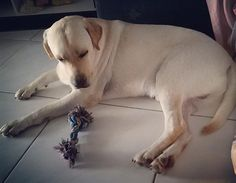 Bom dia para quem abriu os olhos mas ainda não acordou!  ==================================== #Harry #Labrador #Retriever #filhotes #cachorro #dog #Instadog #instaharry #instapet #dogslovers #puppy #pup #doggie #pet #lab #yellowlab #golden #talesofalab #babydog #loveanimals #labragram #laboftheday #worldoflabs #photo #instagram #wednesday #followme #today by labradorrharry