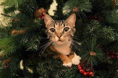 20 Cats In Christmas Trees