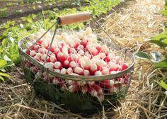 Nos conseils pour avoir de bons radis - Permaculture, Garden Online, Horticulture, Garden Terrarium, Root Vegetables Garden, Garden Care, Plants, Organic Gardening, Vegetable Garden