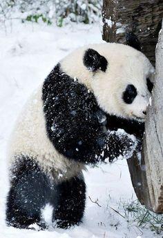 The baby panda born at Viennas' Schönbrunn Zoo