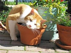 10 Herbs to Improve Your Cat's Health   petMD = Cat nip, Cat thyme, Chamomile, Calendular, Echinacea, Valerian, Lincorice root, Cat's claw, Dandelion root, Goldenseal